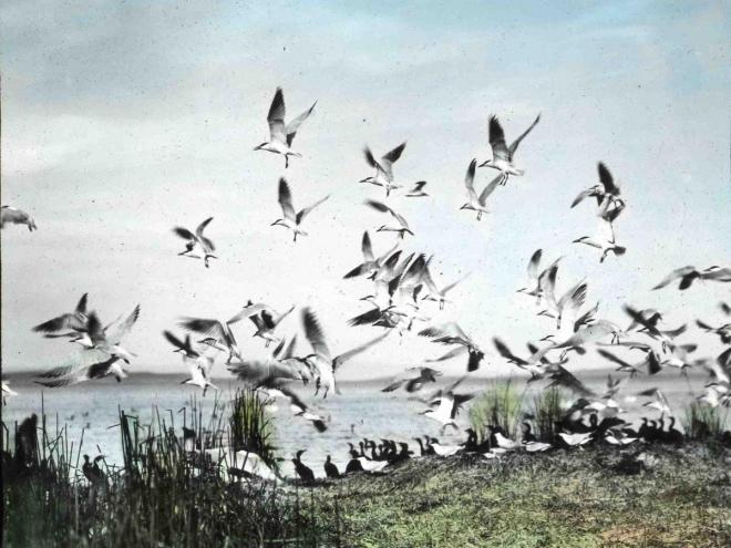 caspian-terns-Finley
