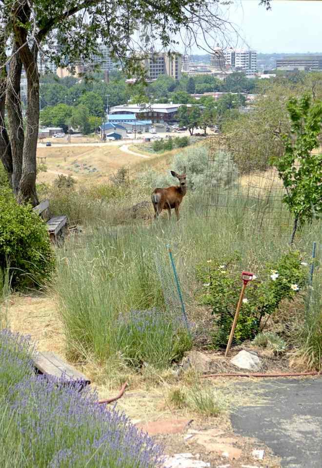 yard deer