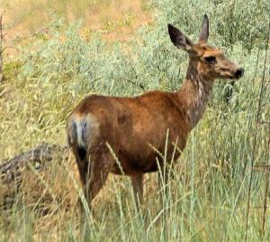 yard deer2