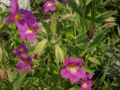 Monkey Flowers